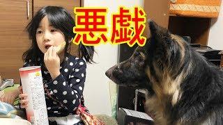 grandchild and #GermanShepherd#犬悪戯 #シェパード犬 大型犬・ジャー...