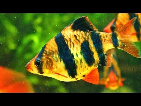 Get Tiger Barbs. Here's Why.