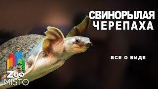 Свинорылая черепаха - Все о виде пресмыкающихся | Вид пресмыкающихся - Свинорылая черепаха