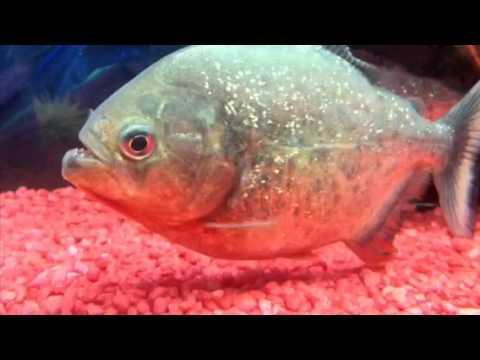 Fotos de pez oscar 25