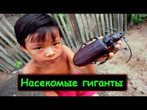 Жук размером с голову и другие самые большие насекомые!