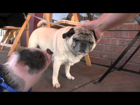 Carnitas the Pig meets Oscar the Pug - YouTube