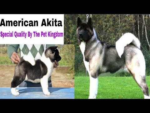 Akita puppy Special Quality Breed Information 8700287843