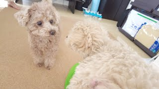 The highlights of the first 10 days since our toy poodle and a newcomer puppy have met