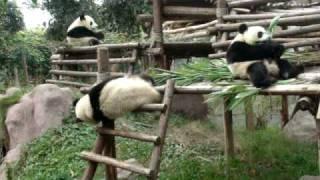 Drunk Pandas do the funniest things Chengdu