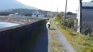 ニューファンドランド・ランドシーアのななちゃん Newfoundland (Landse...