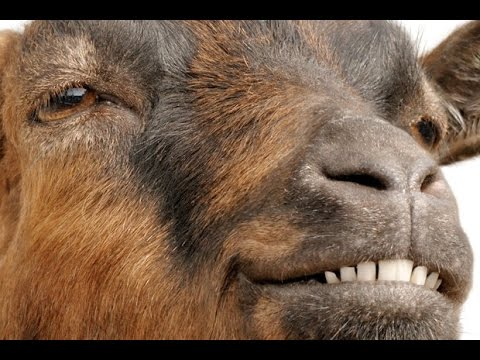 Funny Screaming Goat BloodyFailTVwww savevid com - YouTube  Mom Screaming Goats Funny