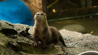 Rescued river otter explores habitat for first time