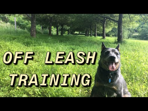 How to Teach your Dog to be Off Leash