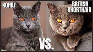 Korat Cat VS. British Shorthair Cat