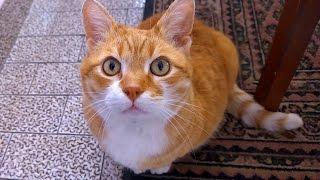 Munchkin Cat Meow Compilation