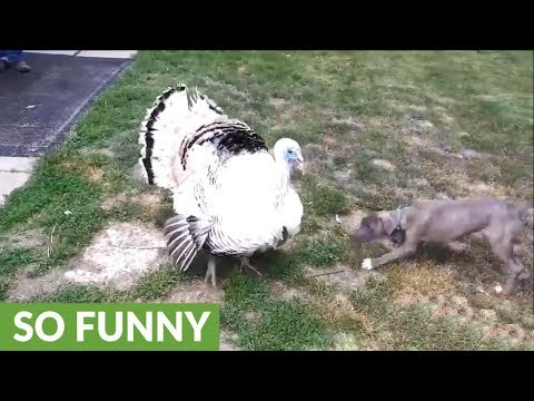 Playful puppy determined to make friends with giant turkey
