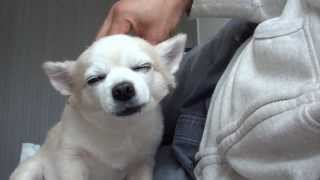 Massage for Chihuahua, Time of rest and relaxation