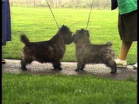 Cairn Terrier - AKC Dog Breed Series