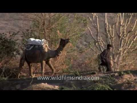Rajasthani man leads his camel in Pushkar