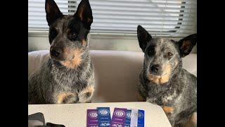 Australian Cattle Dogs  DOG SHOW  AKC Conformation  Blue Heeler