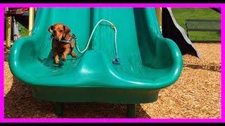 Dachshund Loves The Playground Slide