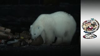 The Canadian Town Living With Polar Bears