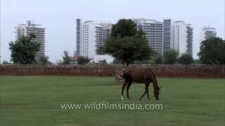 Horse feeding at Nakul Stud farm, India