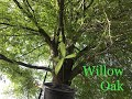 How to grow a Willow Oak Tree