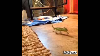 Animals can dance #2 - gecko dance hiphop