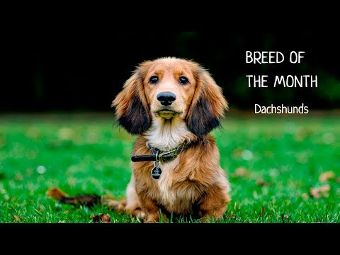 Breed of the month: Dachshund