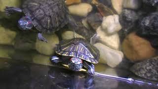 Красноухие черепахи в аквариуме.