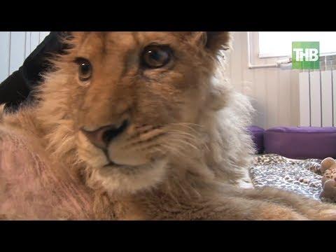 Живой реквизит: в Челябинске выхаживают львенка, ставшего жертвой пляжного фотографа   ТНВ