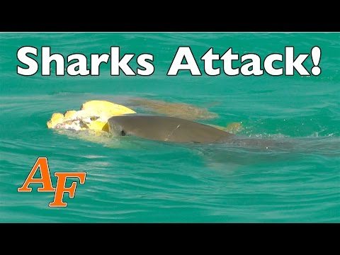 Shark Attack   Tiger Shark eats Turtle  Andy's Fish Video EP.343