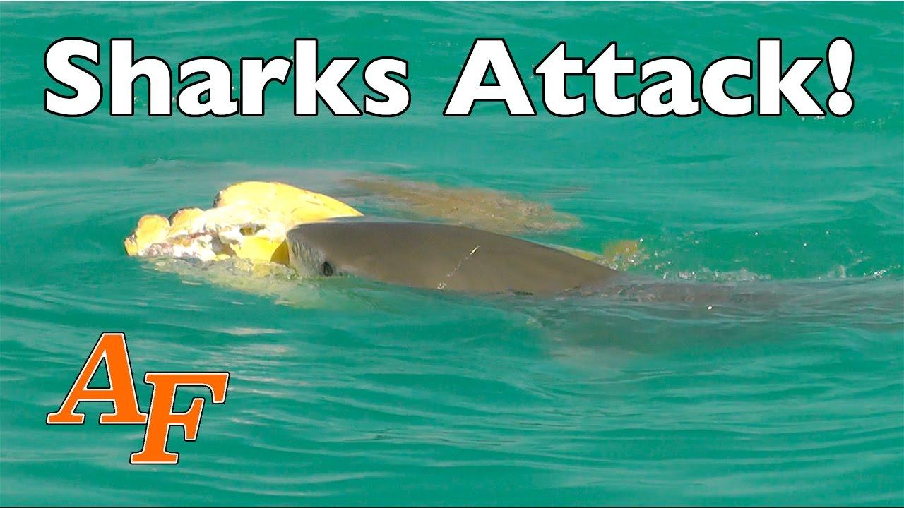 Tiger Shark and Turtle - The UK Art Depot Shop |Tiger Sharks Attack Turtle