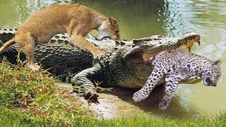 Crocodile too strong in swamp - Lion King don't escape the fast attack for 15 seconds of Crocodile