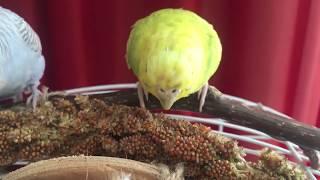 Чумиза для моих волнистых попугаев! Лакомство для Тоши и Лаймы