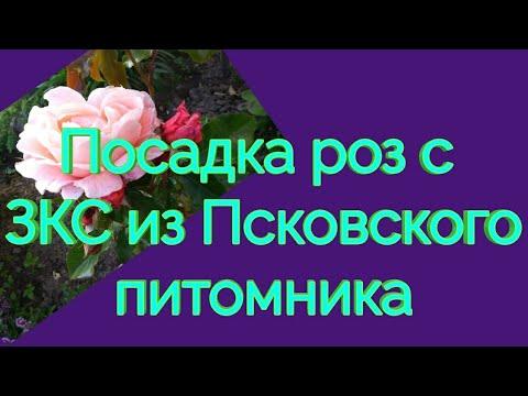 Посадка роз из Псковского питомника.☀️🌹😊