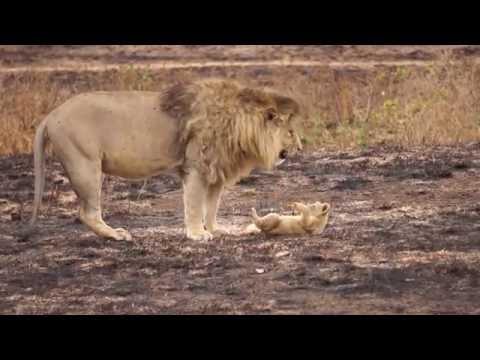 Lioncub NOT fighting huge male?