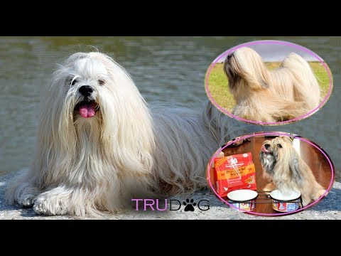 Ultimate Guide To Caring For Lhasa Apso