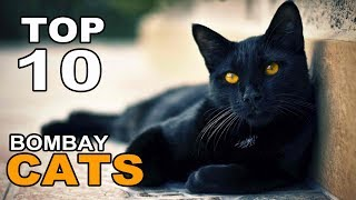 TOP 10 BOMBAY CATS BREEDS