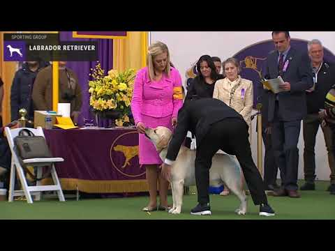 Labrador Retriever | Breed Judging 2020