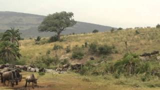 ケニアのマサイマラ国立公園に行ってきました! シマウマとヌーの群れが...