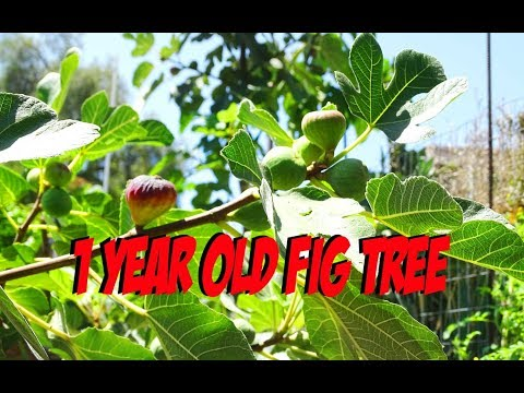 Growing Fig Trees fast to produce Figs on Young Trees-Manure and Woodchips