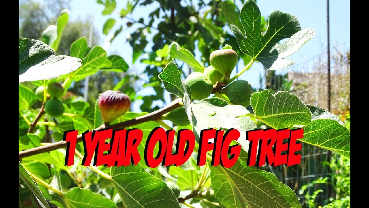 Growing Fig Trees Fast To Produce Figs On Young Manure And Woodchips