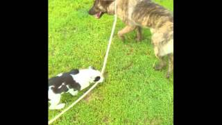 Leash Training For A Shelter Dog With Ripley The Borderstaffy