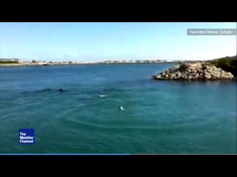 Dog Goes Swimming With Dolphins in Australia