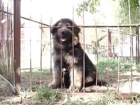 Выбор щенка. Питомник немецких овчарок Мотор Сич. Запорожье, Украина