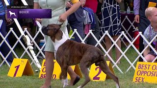 Boxers | Breed Judging 2021