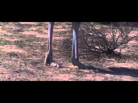 Ostrich beat up monkey, man and hyaena   YouTube