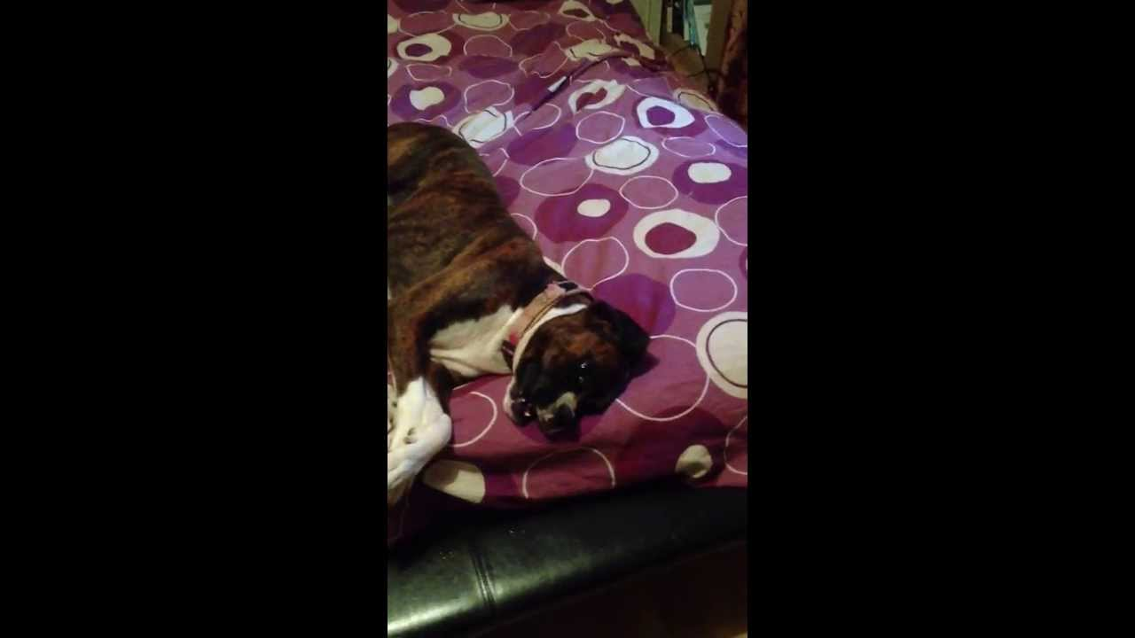 Funny Boxer dog won't get out of bed - YouTube