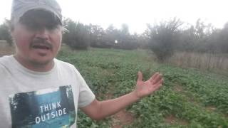 Fall cover crops at Providence Farms