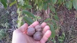 Как созревает грецкий орех(Моя страница ВКонтакте: https://vk.com/brybak Мой сайт: http://brybak.ru/ В нашем регионе грецкий орех типичное дерево, в..., 2015-10-01T17:00:20.000Z)