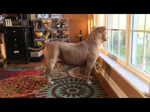 Biggest Champagne Female Dog On Earth; ManMade Kennels Zombie; Worlds Largest Dog