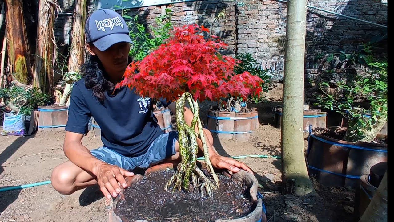 Download dulu hanya akar tanaman pinggir sungai kini sudah jadi bonsai berkarakter